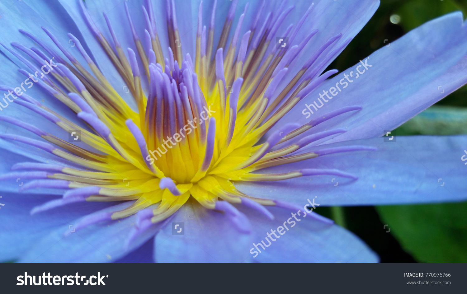 Lotus The Inside Of A Flower Comprising Both The Stamen And The