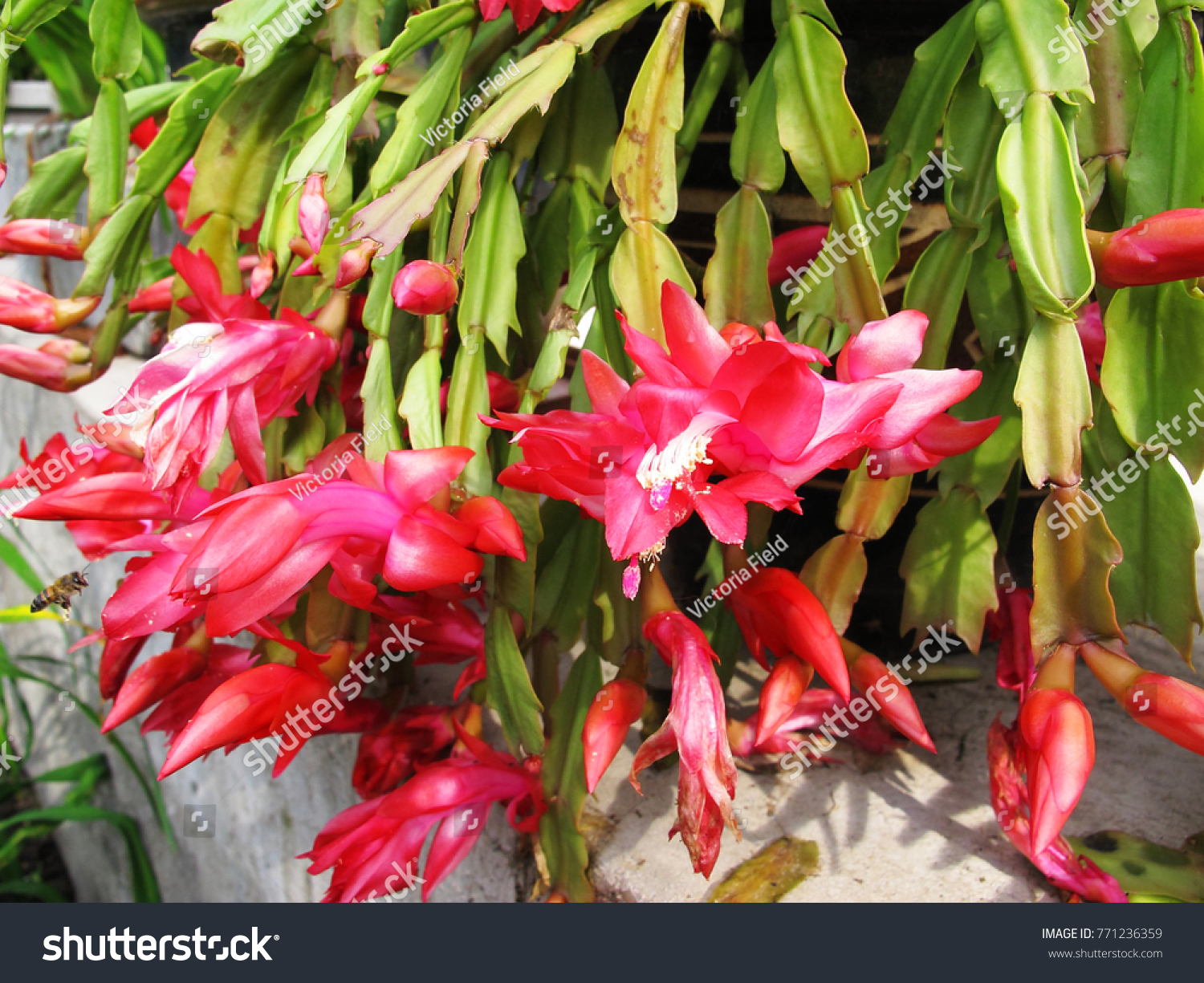 Pink Flowers Schlumbergera Common Names Christmas Stock Photo