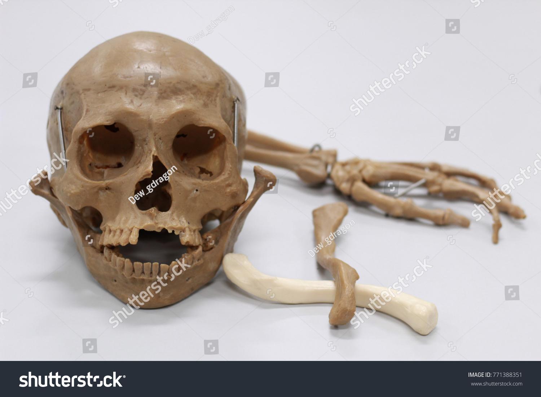Skull Bone Human Lab Anatomy Stock Photo Edit Now 771388351