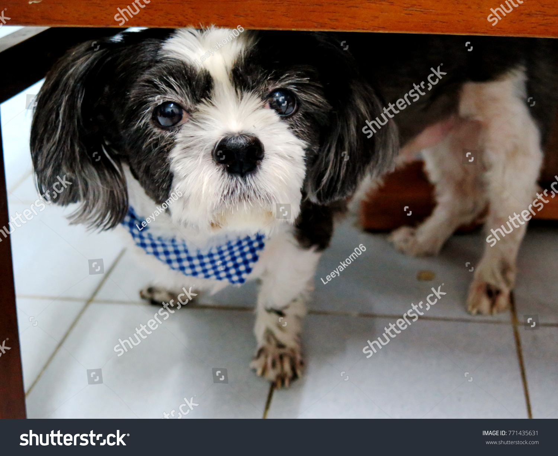 Black White Color Shih Tzu Dog Stock Photo Edit Now 771435631