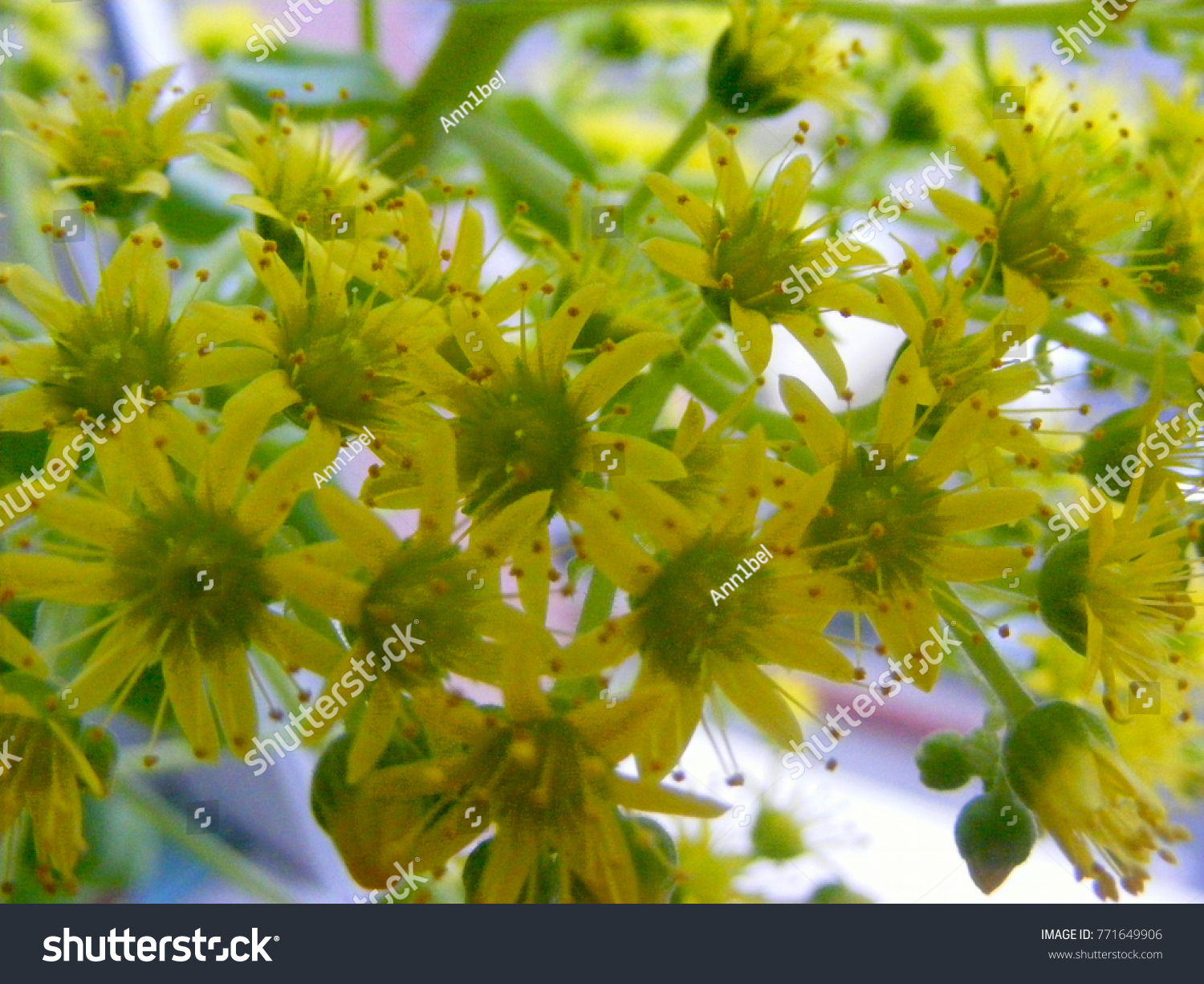 Yellow Flowering Sedum Palmeri Plant Succulent Stock Photo Edit Now