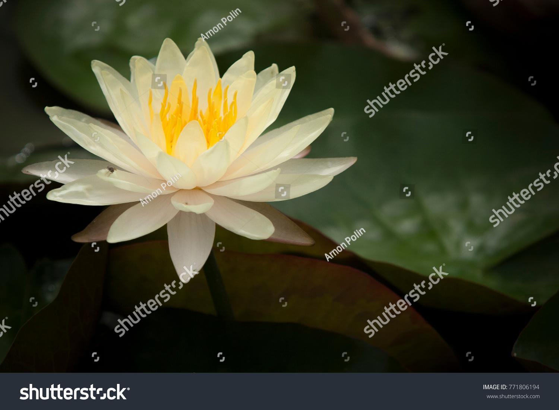 Beautiful lotus flower ez canvas id 771806194 izmirmasajfo