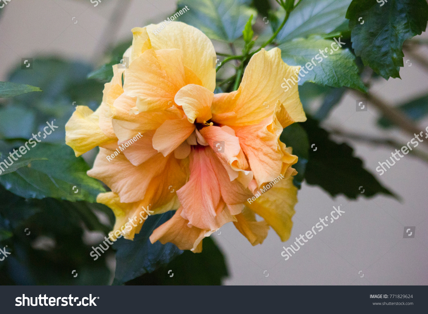 Beautiful yellow big flower hibiscus hibiscus stock photo royalty beautiful yellow big flower of hibiscus hibiscus rosa sinensis in greenhouse karkade is izmirmasajfo Gallery