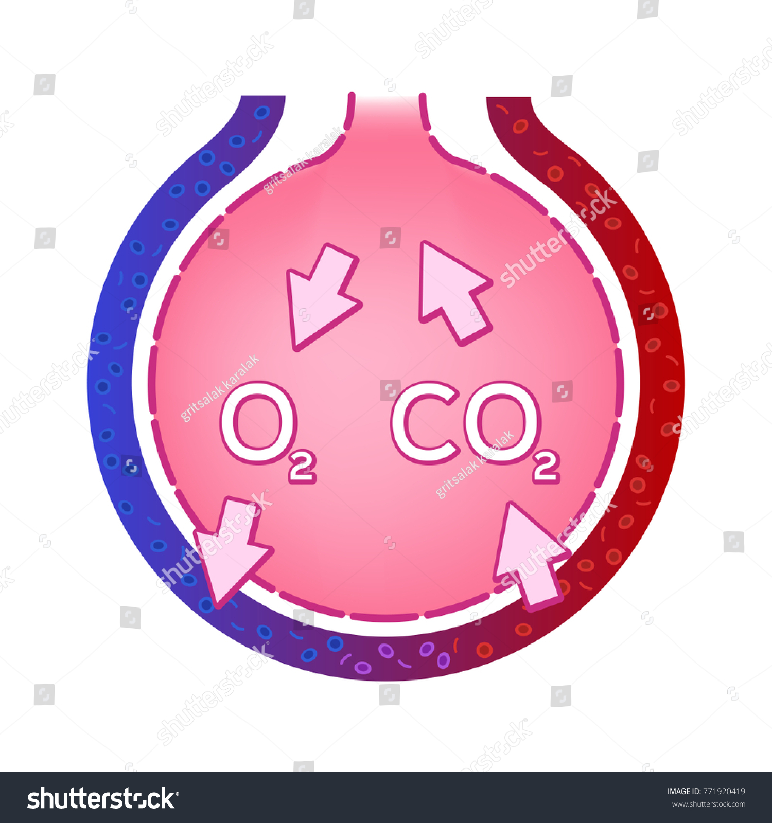 Alveolus Lung Gas Exchange Vector Anatomy Stock Vector Royalty Free
