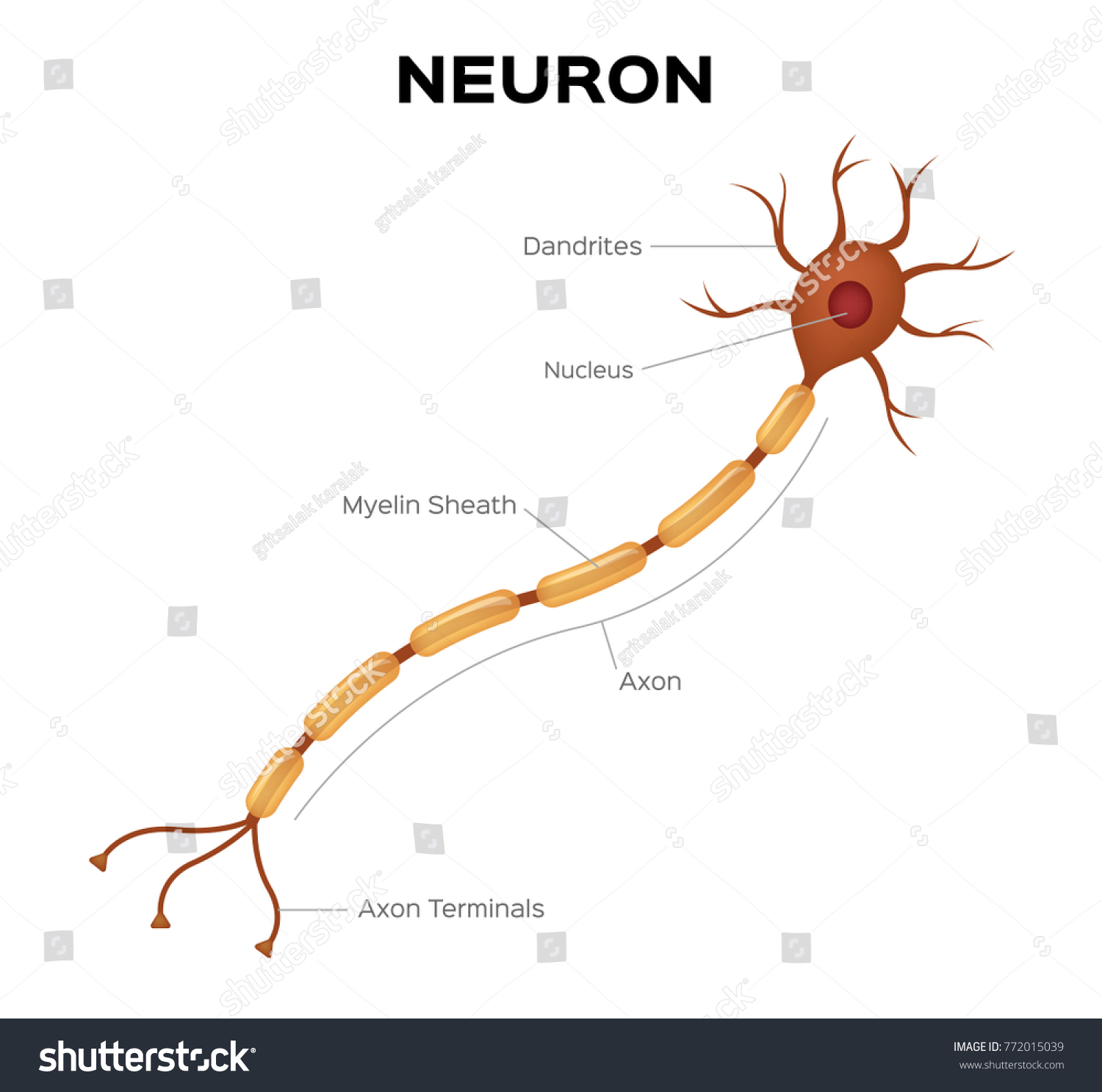 Nerve cell anatomy and Myelin sheath that surrounds the axon close ...