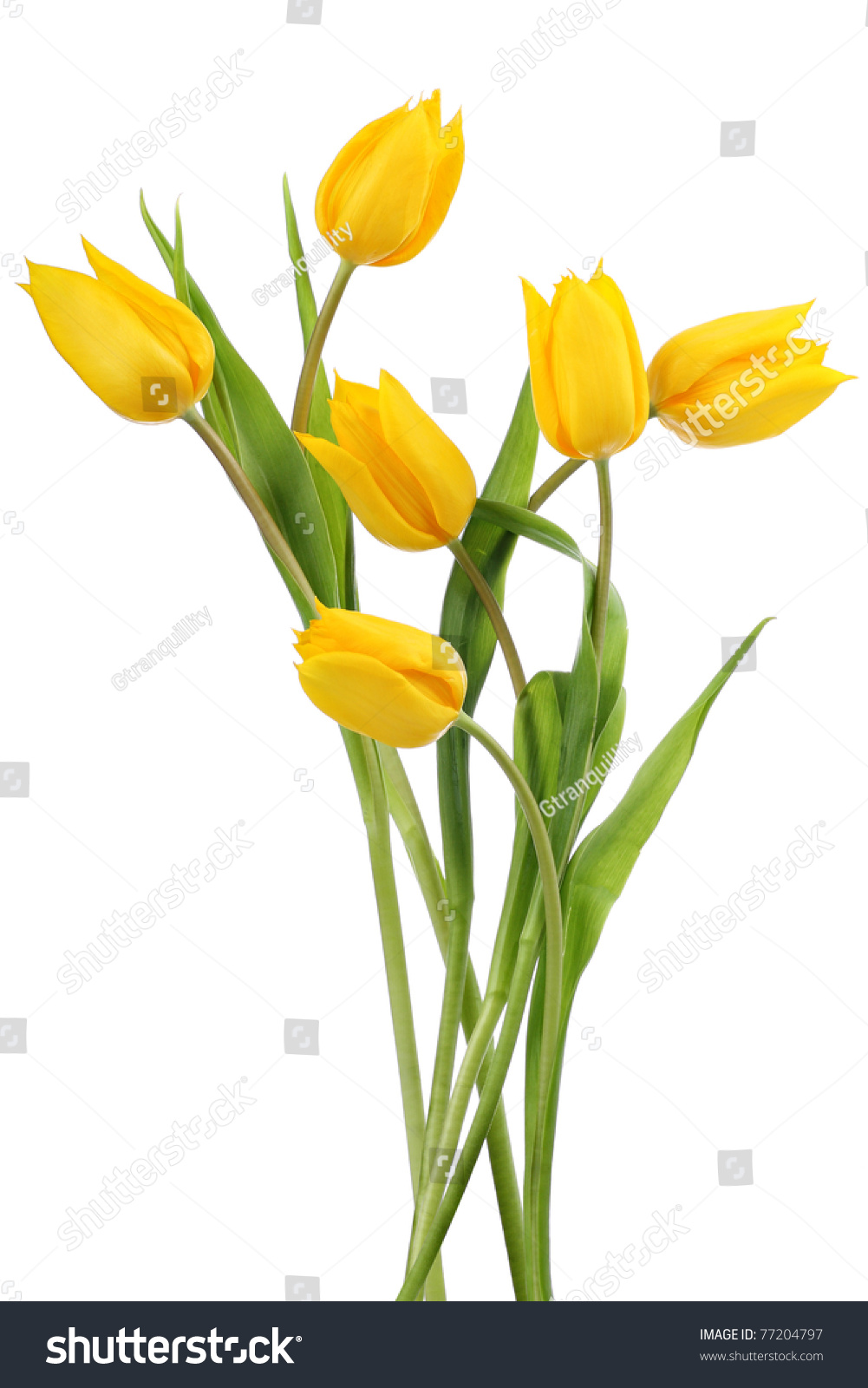 Yellow Tulip Flowers Yellow Tulips On Stock Photo Royalty Free
