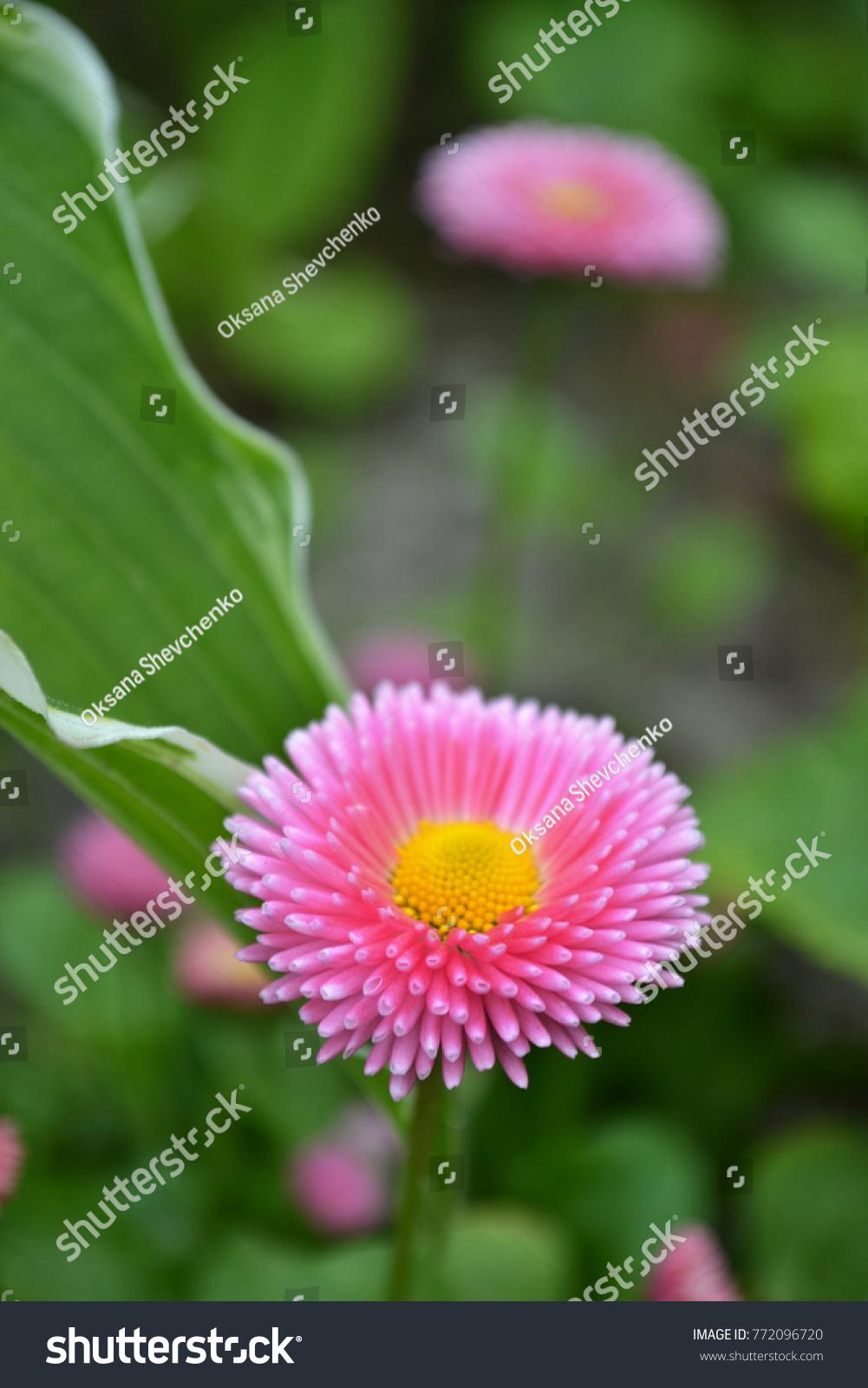 English daisy flower bellis perennis pink stock photo edit now english daisy flower bellis perennis pink color petals english daisy plants izmirmasajfo