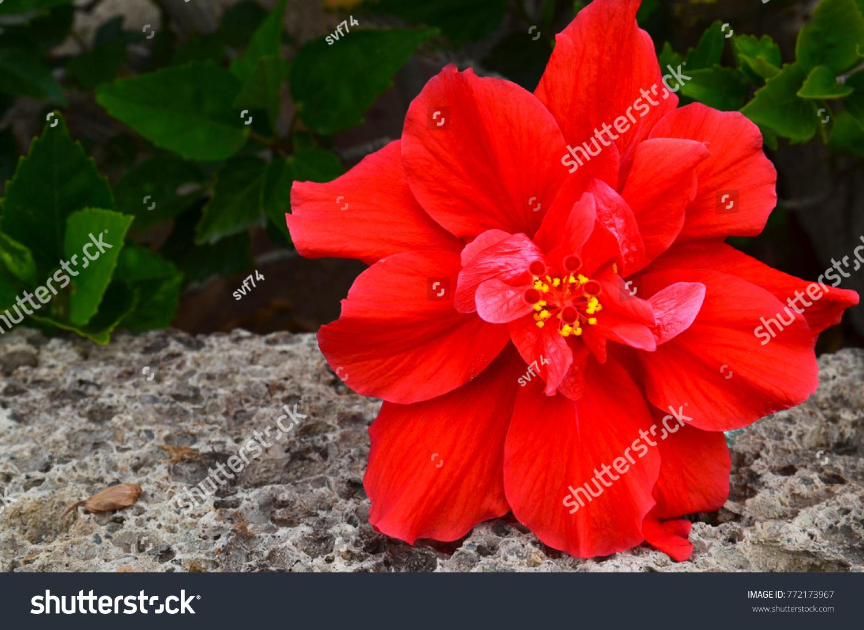 Red hibiscus flower china rose chinese hibiscus hawaiian stock photo red hibiscus flower china rosechinese hibiscushawaiian hibiscus in tropical garden izmirmasajfo