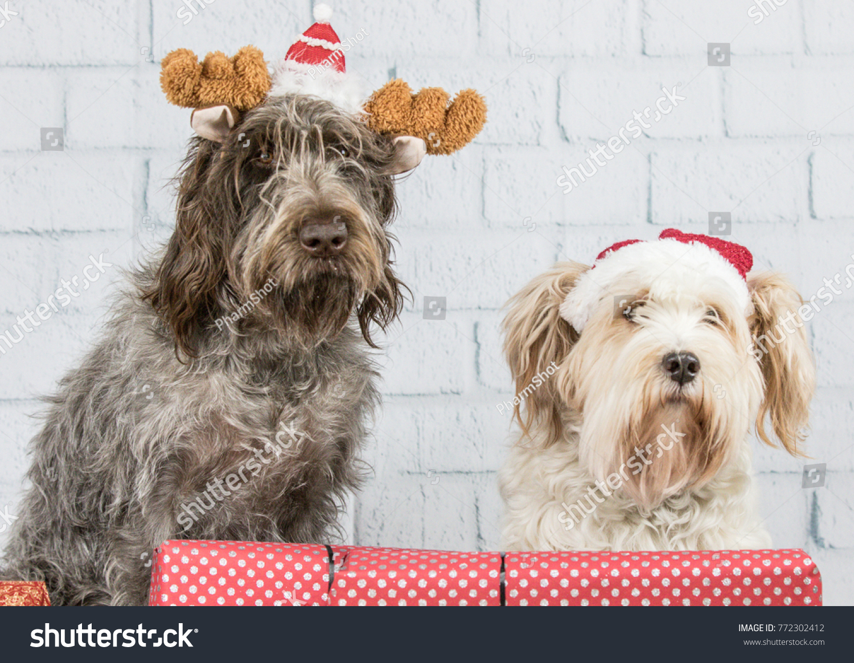 Tibetan Terrier Wirehaired Pointing Griffon Christmas Stock Photo ...