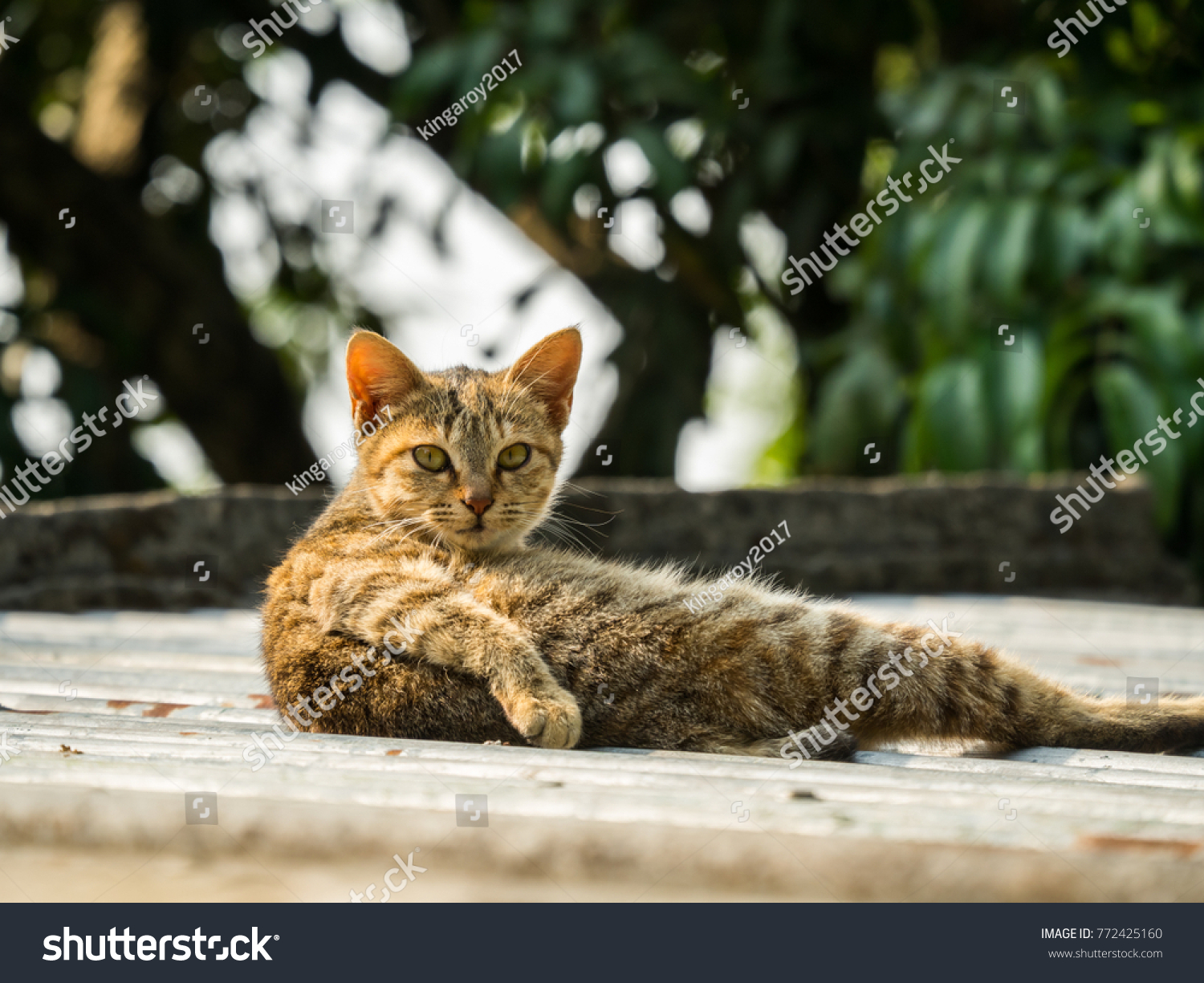 Asian Cats Cute Backgrounds Nature Stock Photo Edit Now 772425160