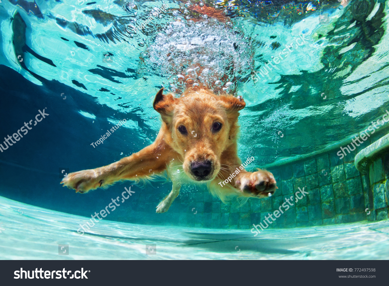 Underwater funny photo of golden labrador retriever puppy in swimming pool play with fun - jumping, diving deep down. Actions, training games with family pets and popular dog breeds on summer vacation #772497598