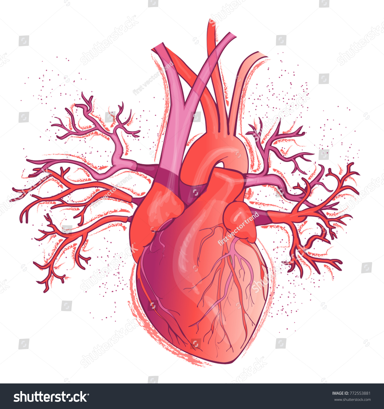 Vector Realistic Red Human Heart Internal Stock Vector Royalty Free