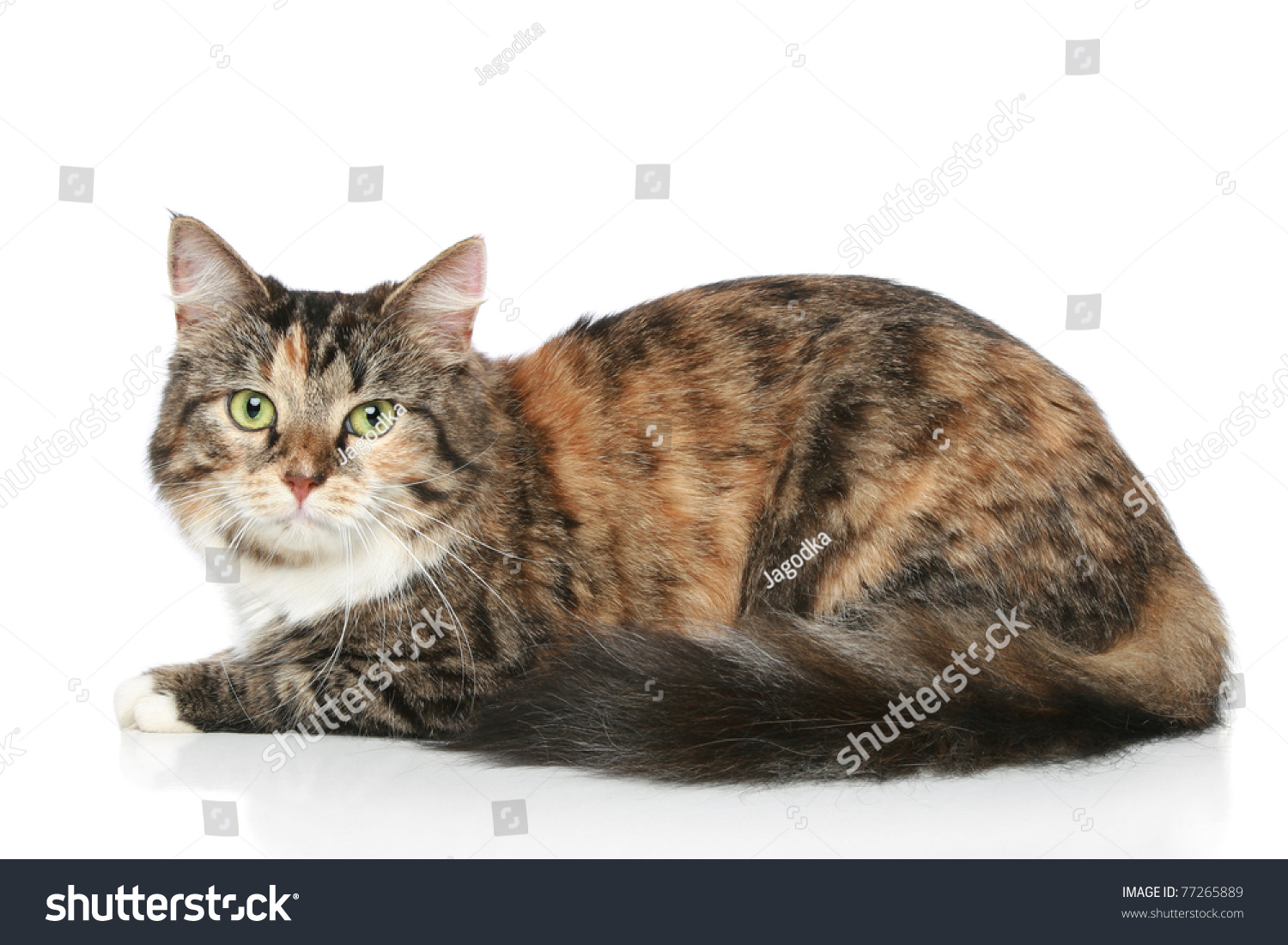 Mixedbreed Cat Resting White Background Stock