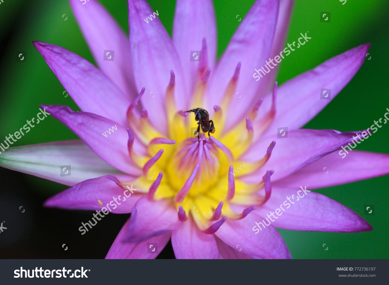 Egypt lotus flower choice image fresh lotus flowers lotus flower egypt image collections flower wallpaper hd mightylinksfo