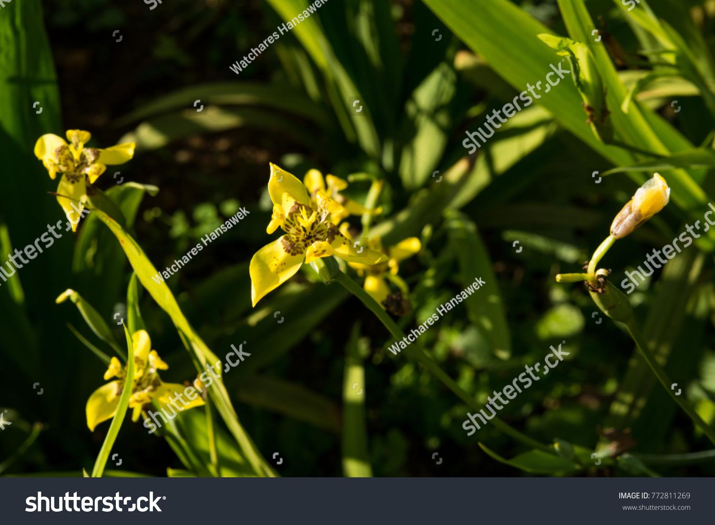Wild yellow iris flowers ez canvas izmirmasajfo