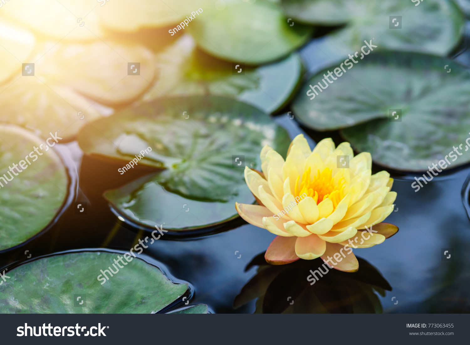 Yellow Lotus Flower Floating On Water Stock Photo Edit Now