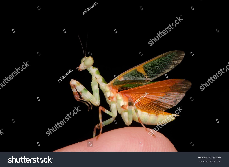 Flower Mantis Male On Tip Finger Animals Wildlife Stock Image