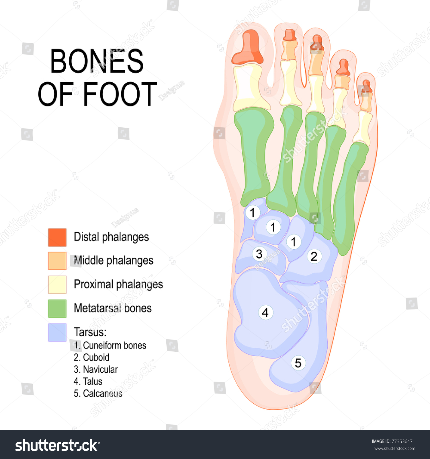 Bones Foot Human Anatomy Diagram Shows Stock Vector Royalty Free