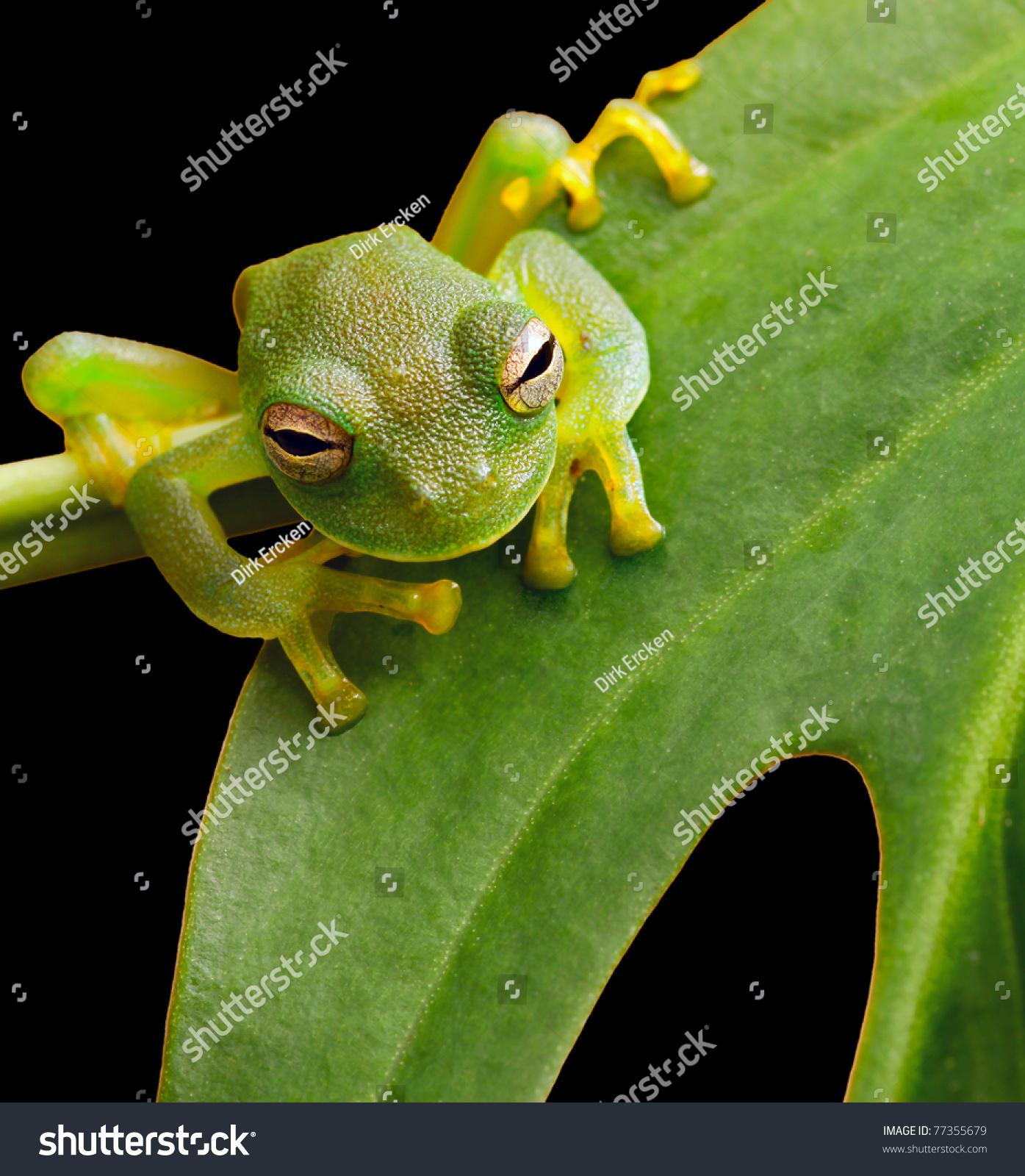 Tree frog in brazil tropical amazon rain forest beautiful night animal