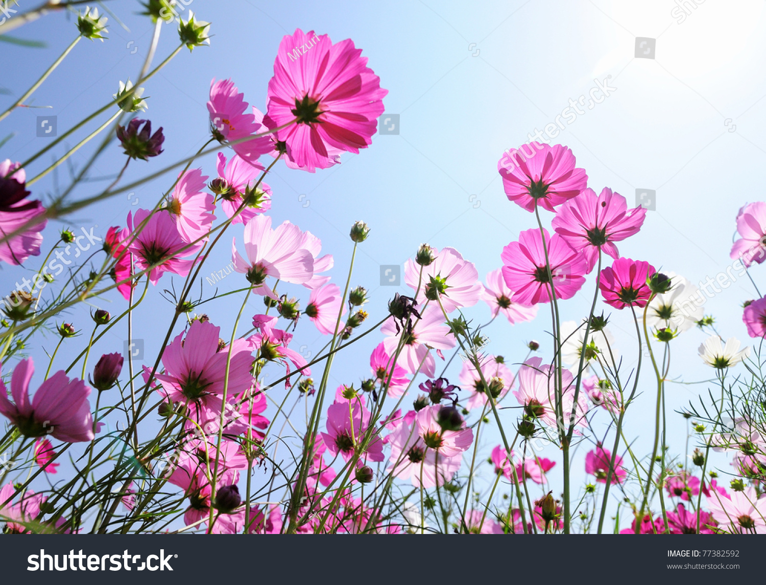 Beautiful Pink Flowers Blue Sky Stock Photo Edit Now 77382592
