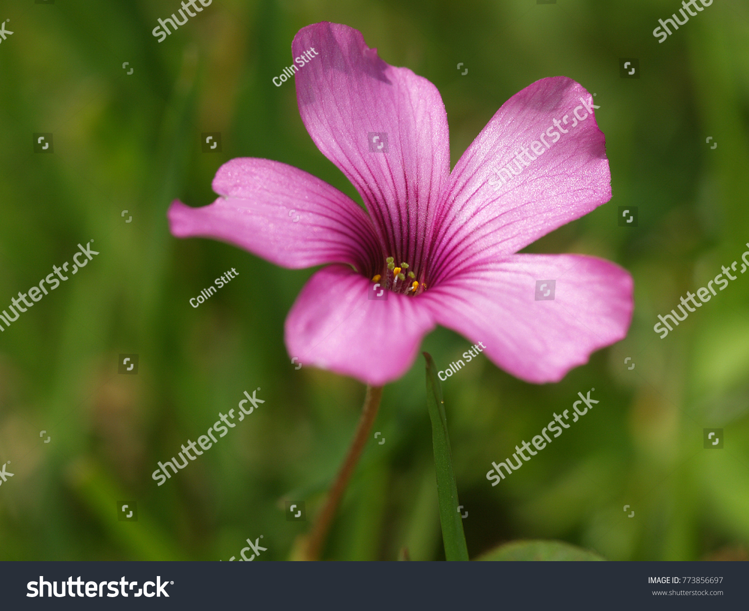 Tiny pink flower from a weed in my lawn ez canvas mightylinksfo