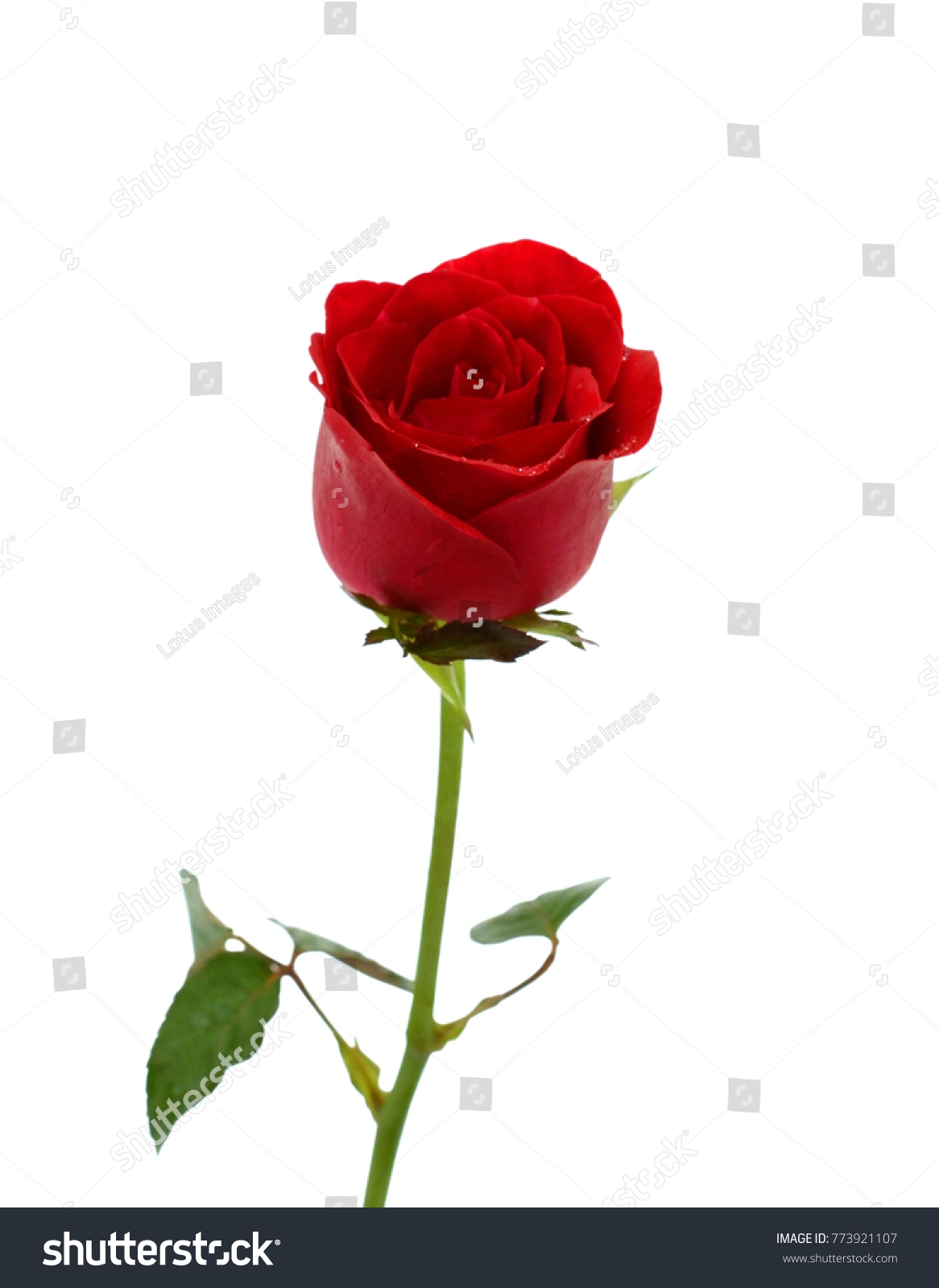 Single Red Rose Flower Isolated On Stock Photo Edit Now 773921107
