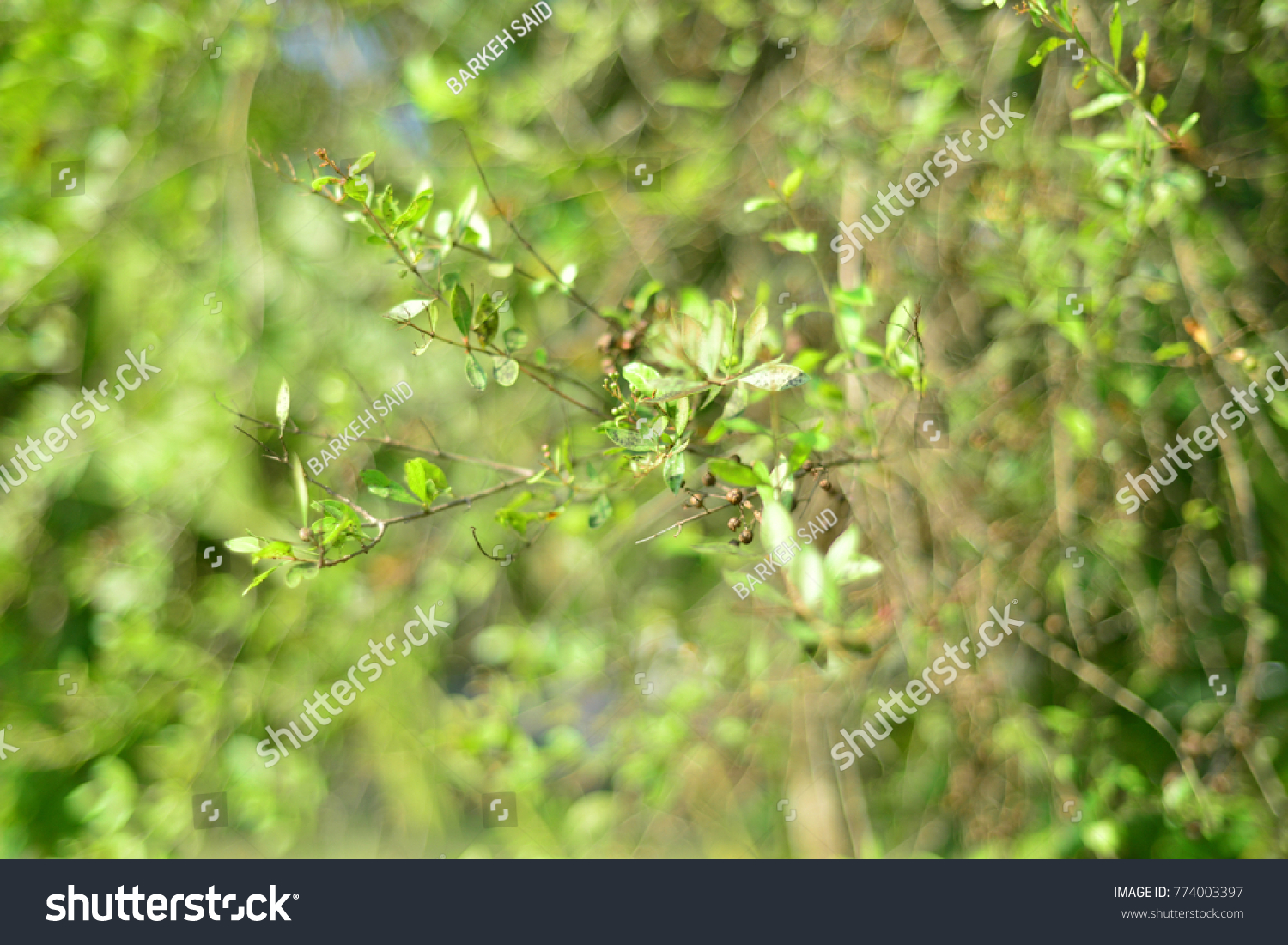 Lawsonia Inermis Known Hina Henna Tree Stock Photo Edit Now