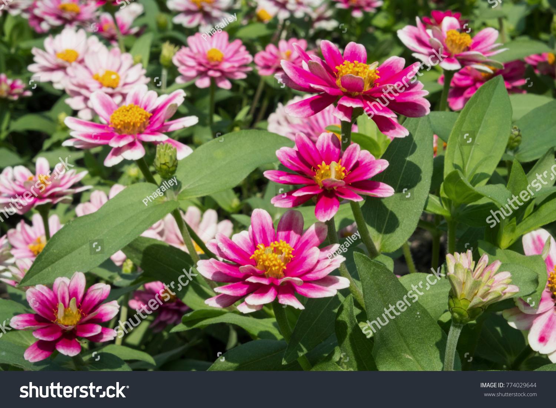 White Pink Marigold Flowers Garden Stock Photo Royalty Free