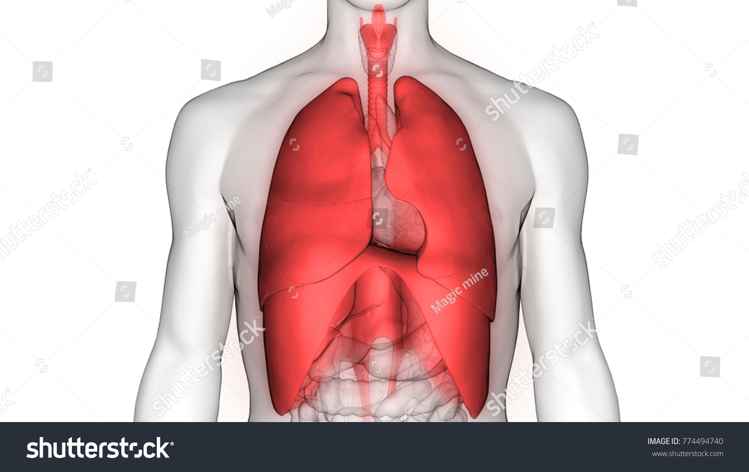 Human Respiratory System Lungs Diaphragm Anatomy Stock Illustration