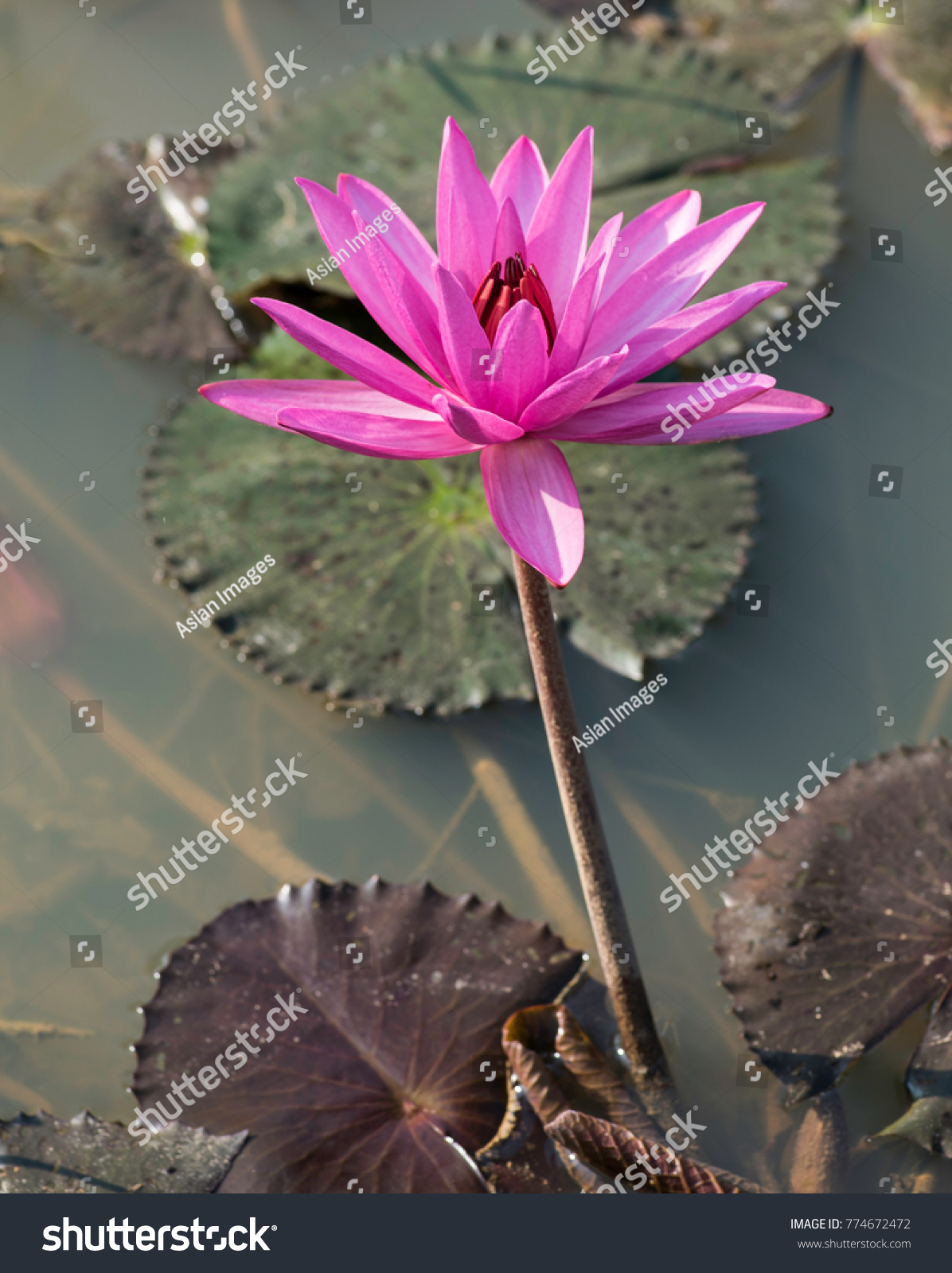 Water lily violet coloured natural habitat stock photo royalty free water lily violet coloured with natural habitat background showing pools of water left after the mightylinksfo