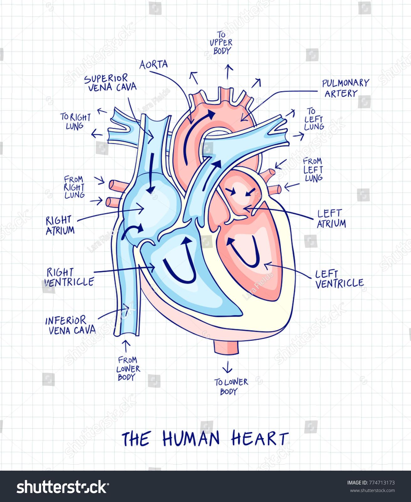 Sketch Human Heart Anatomy Line Color Stock-vektorgrafik 774713173 ...