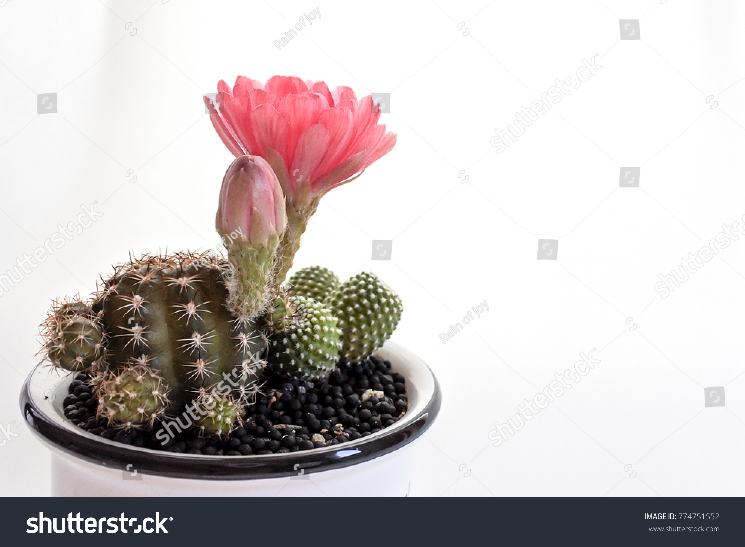 Cactus Echinopsis Hybrid Pink Flowers Like Stock Photo Edit Now