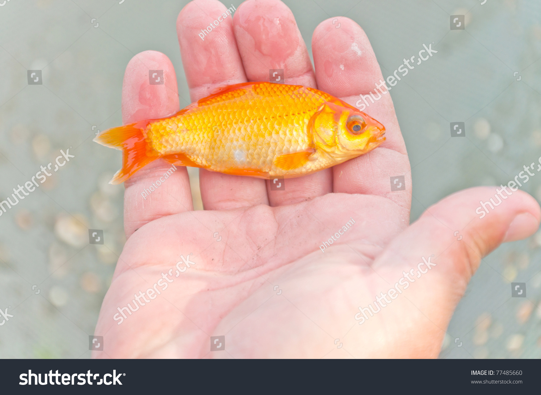 Handing a little orange koi fish stock photo 77485660 for Little koi fish
