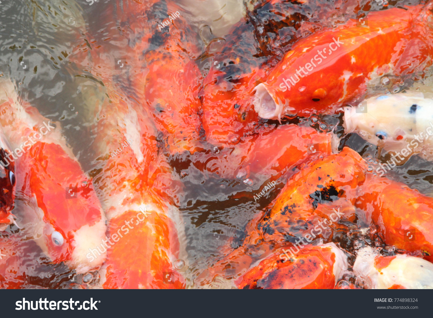 Colorful Koi Fish Pond Feeding Stock Photo (Royalty Free) 774898324 ...
