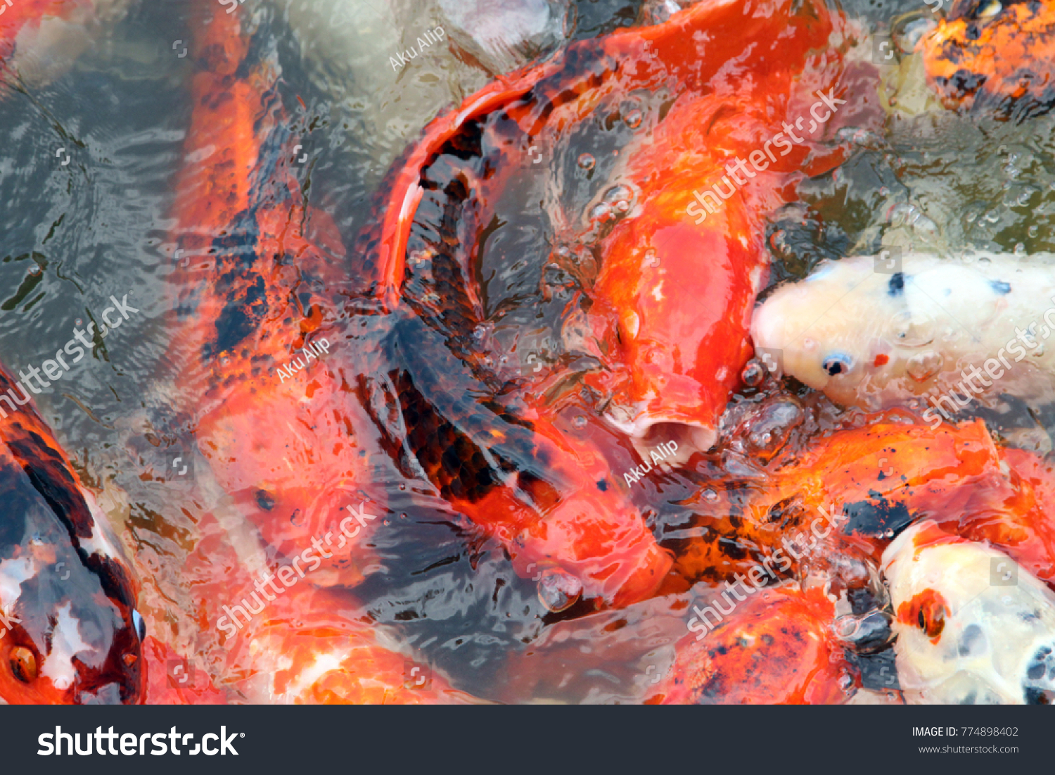 Colorful Koi Fish Pond Feeding Stock Photo (Edit Now)- Shutterstock