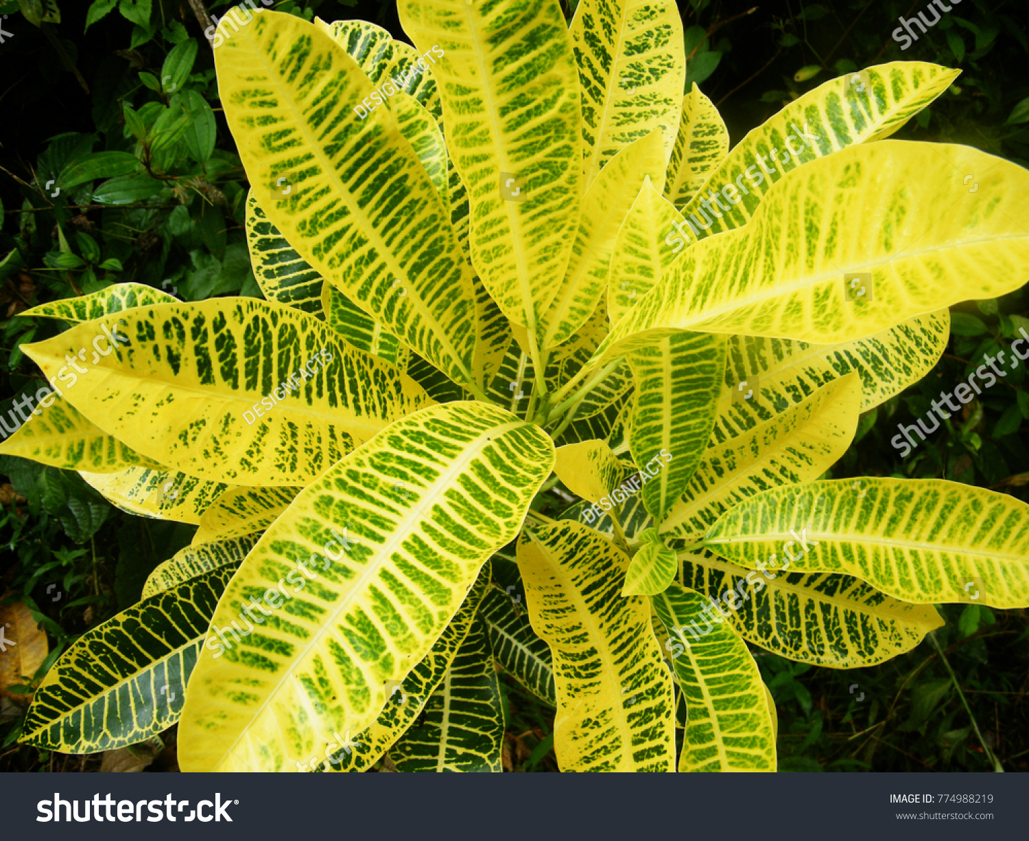 Tropical Yellow Veined Leaves Croton Plant Stock Photo Edit Now 774988219 Yellow leaves, burnt leaves, old leaves, brown leaf tips and other common leaf ailments part !become one of indoor plants care,plant care,garden plants,aquatic plants,house plants,exotic plants,tropical plants,how to care plants and flowers, landscape plants. https www shutterstock com image photo tropical yellow veined leaves croton plant 774988219