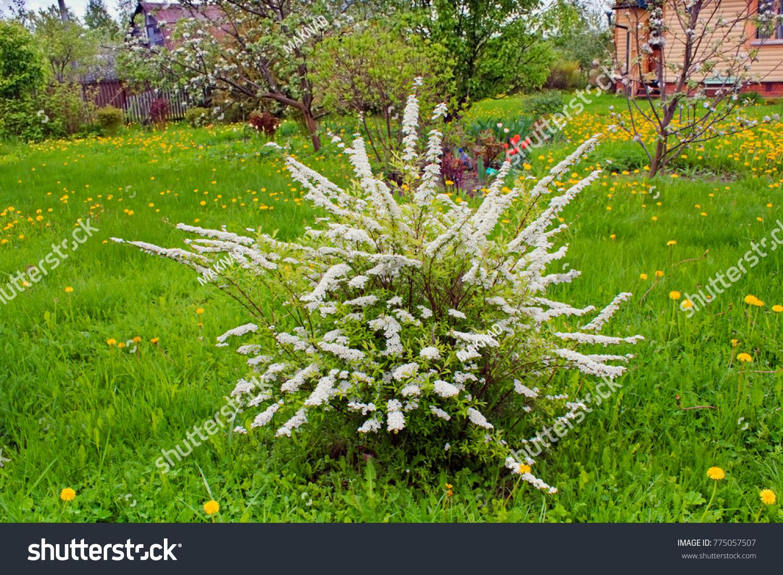 Spiraea White Flowering Shrub Garden Spiraea Stock Photo Edit Now