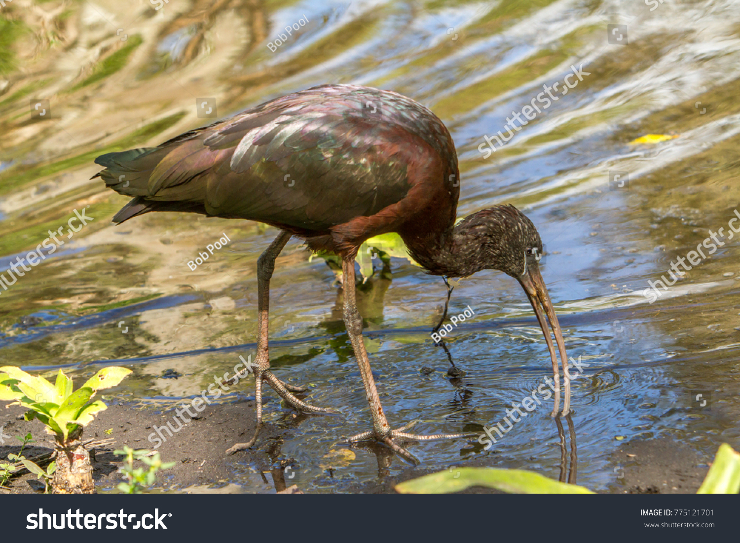 Ibis bird symbolism gallery symbol and sign ideas ibis bird symbolism image collections symbol and sign ideas glossy ibis glossy ibis wading bird stock buycottarizona