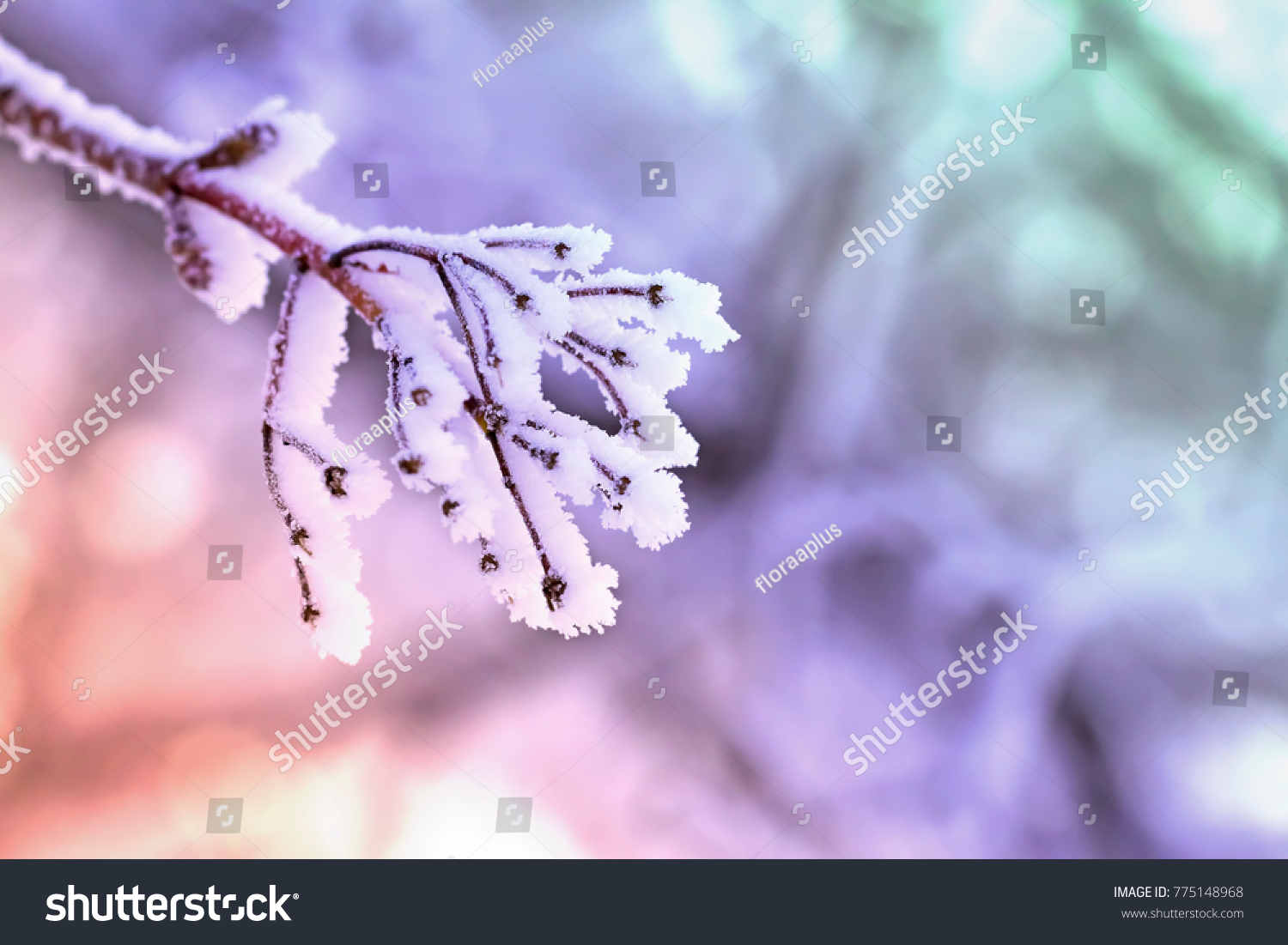 stock-photo-frosty-branch-the-maple-bran