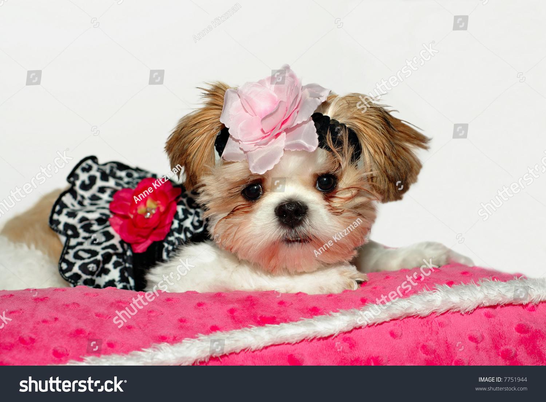 Pretty Babya Shih Tzu Puppy Dressed Stock Photo Edit Now 7751944