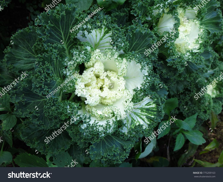 White Cabbage Flower Garden In Chiang Mai Thailand Ez Canvas
