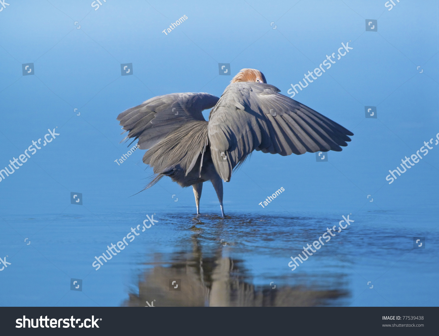 The look. Reddish Egret shading water with wings while hunting fish. Latin name - Egretta rufescens.