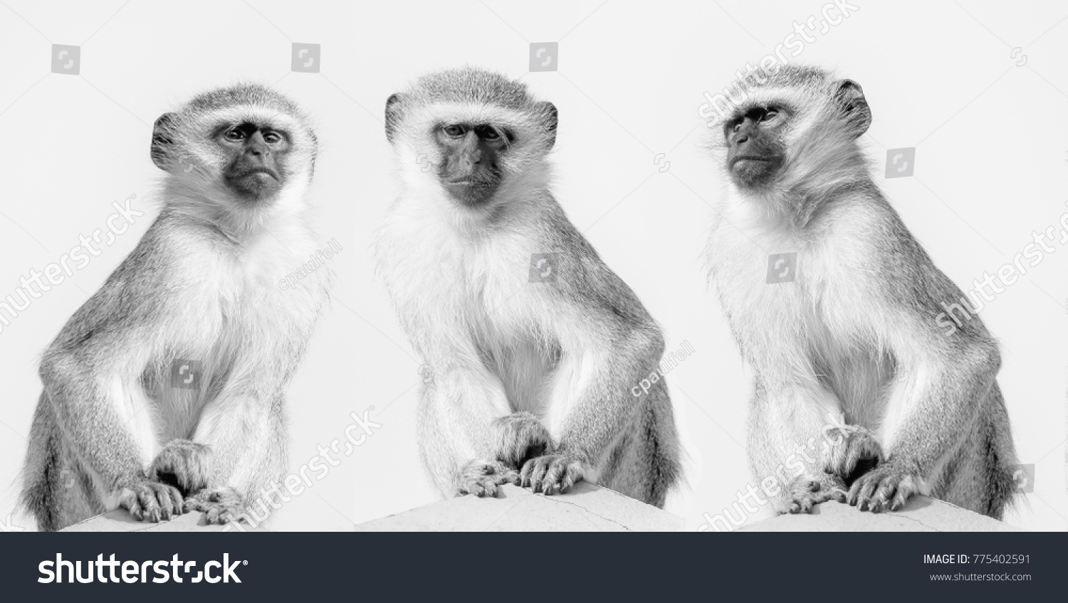 stock-photo-vervet-monkeys-in-black-and-