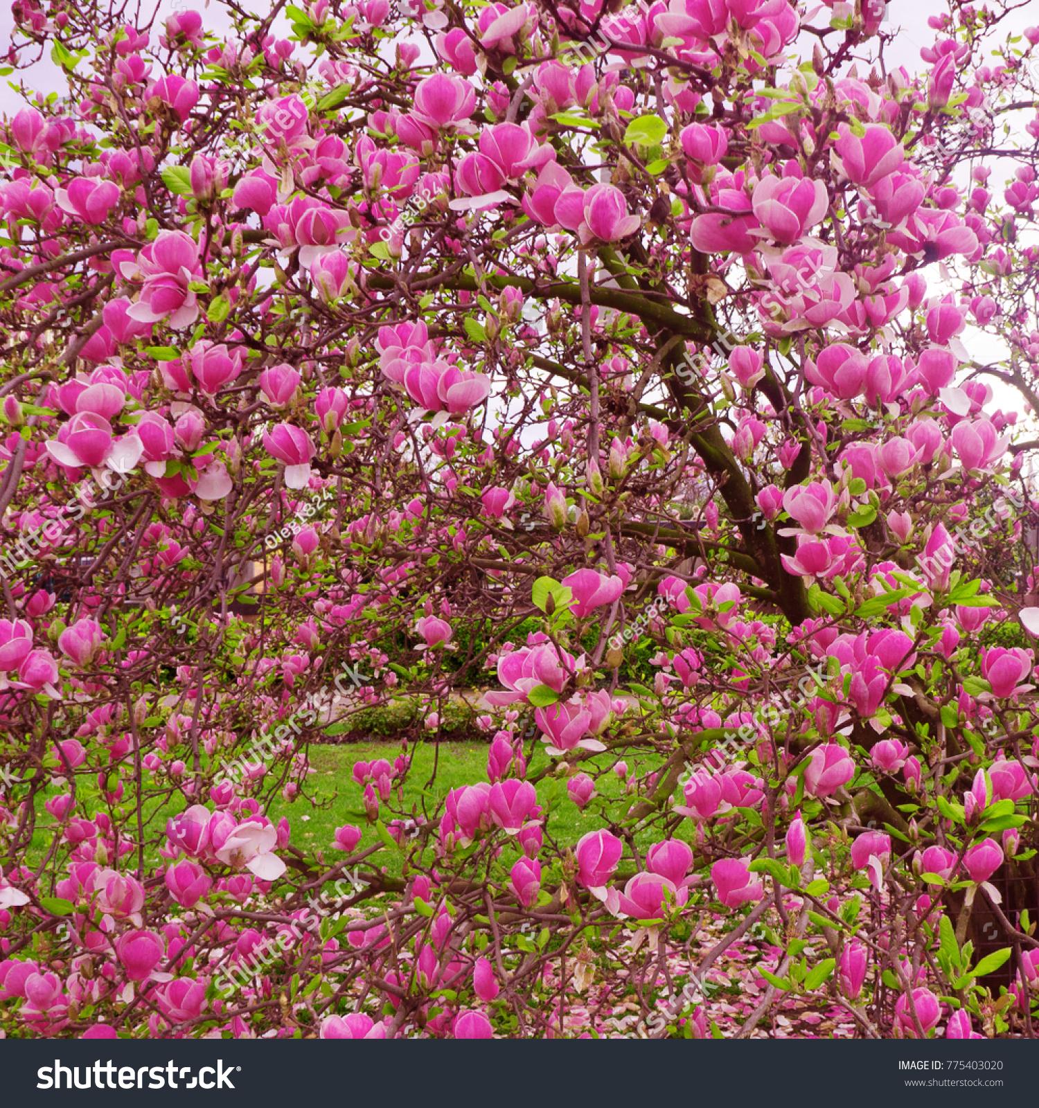 Bloomy Magnolia Tree With Big Pink Flowers Ez Canvas