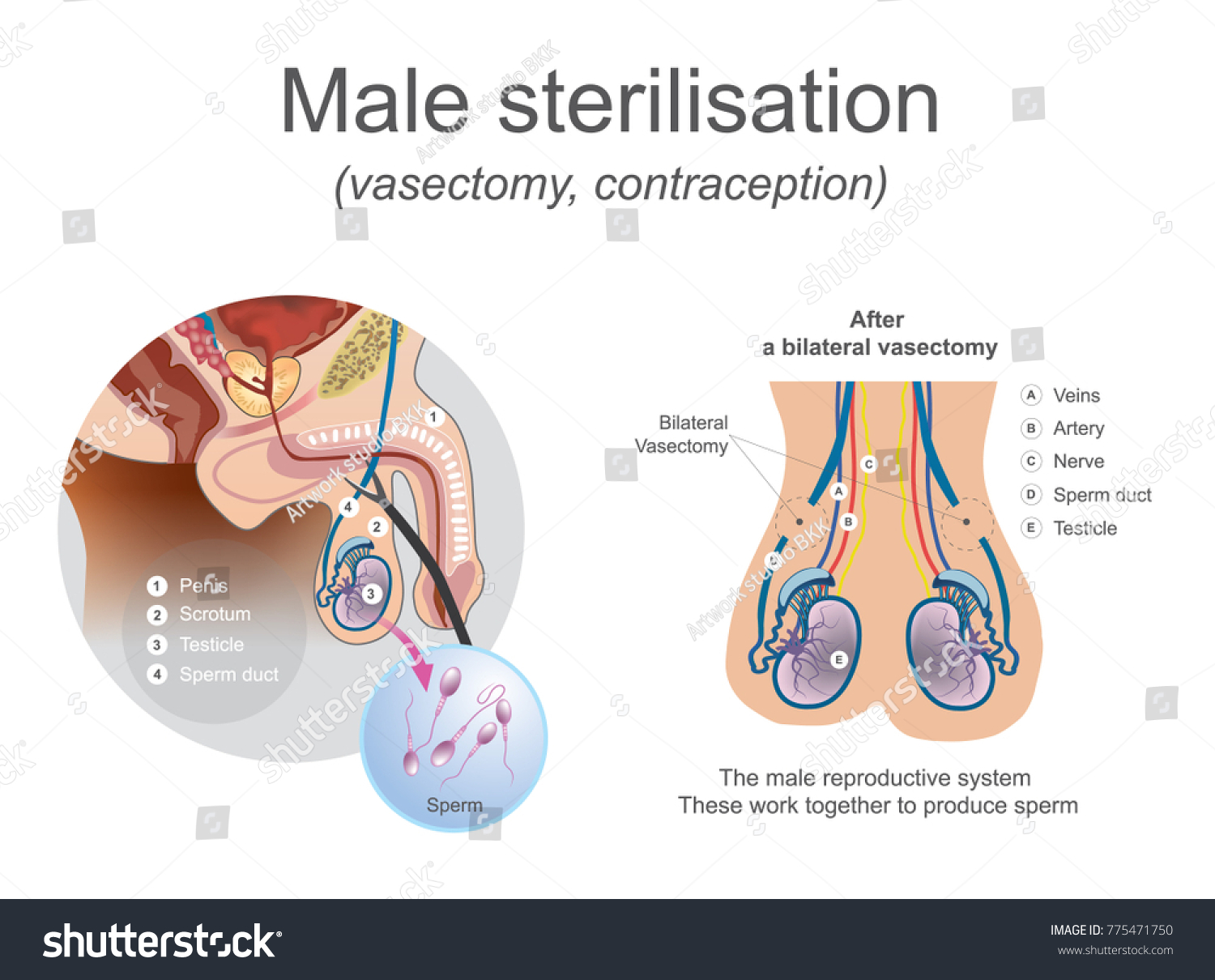 Male reproductive system diagram c circuit connection diagram male reproductive system these work together stock vector 775471750 rh shutterstock com male reproductive system diagram class 12 male reproductive system ccuart Images