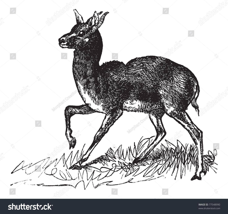 Dorcas Gazelle Running