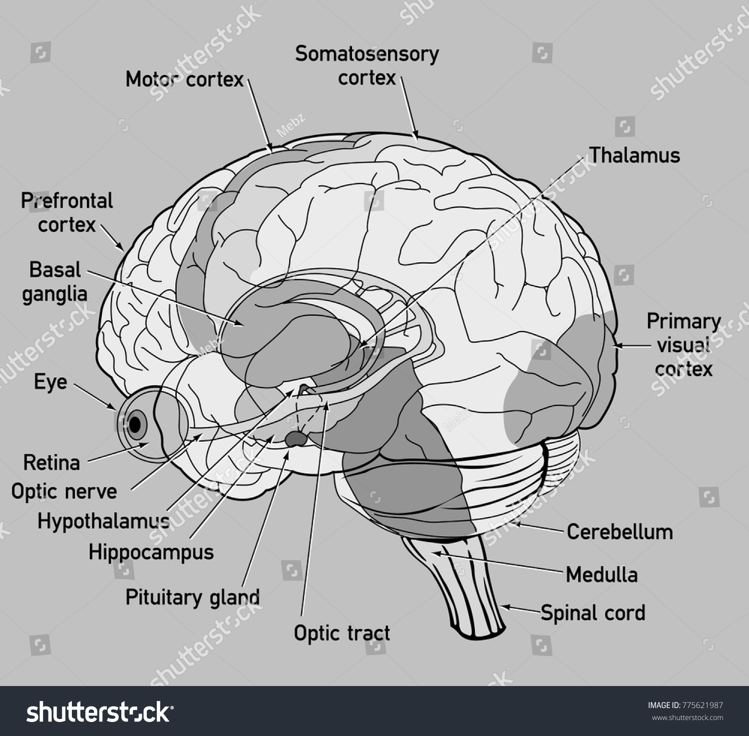 Side View Diagram Human Brain Stock Vector Royalty Free 775621987