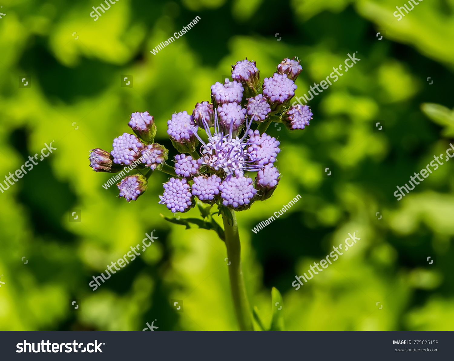 Blue mistflower also known blue boneset stock photo edit now blue mistflower also known as blue boneset izmirmasajfo
