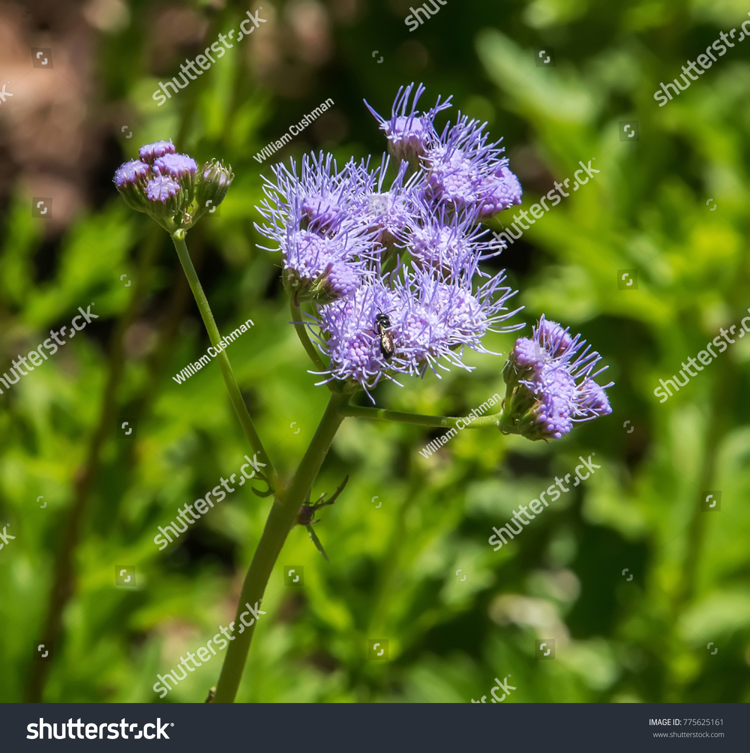Blue mistflower also known as blue boneset ez canvas id 775625161 izmirmasajfo