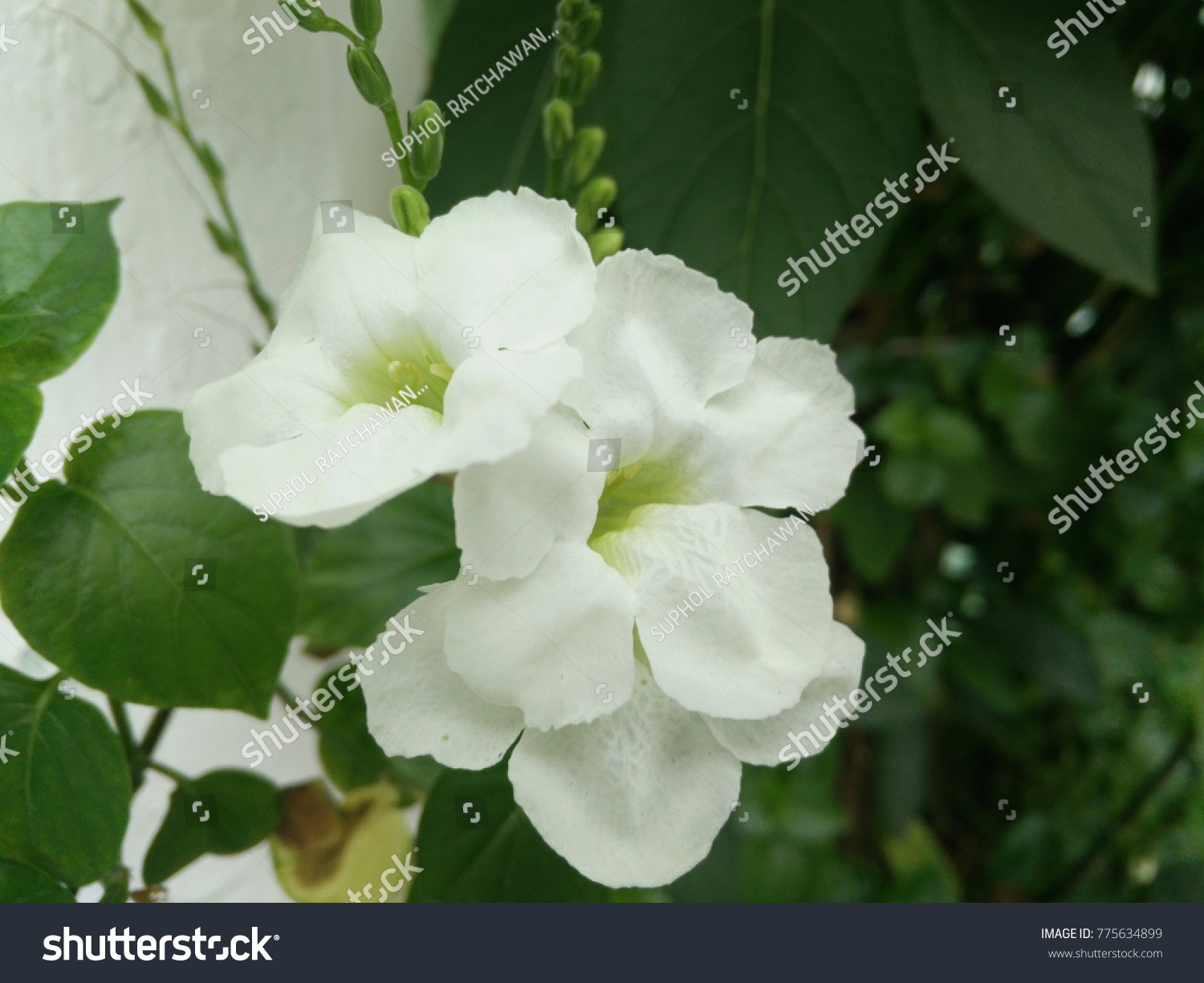 Bloom Jasmine Jasmine Stacked Flowers That Have A Wedge Fragrant